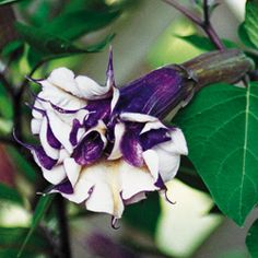 Purple People Eater Angel Trumpet  Light: Full sun to partial shade  Height: 4-5'  Deer Resistant  Bloom Time: All summer