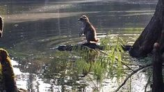 The raccoon quickly jumped off the alligator's back after the photo was taken.