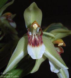 Orchid: Coelogyne carinata