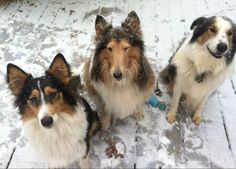 Collies - Rough Collie and two Old Time Scotch Collies
