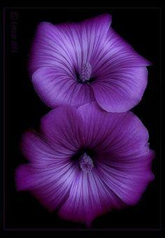 Petunias?  or Pansies.....