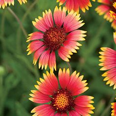 Blanket Flower(Gaillardia aristata) | Wake Up to Wildflowers - Southern Living Mobile
