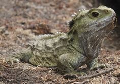 The Tuatara is a reptile which is native to New Zealand. It looks like a lizard, but it is not a lizard. They are unique because they are the only survivor of an ancient group of reptiles that was on earth at the same time as dinosaurs. Reptiles Facts, Reptiles And Amphibians, Mammals, Weird Animal Facts, Animal Facts For Kids, Animal Fact File, Carnival Of The Animals, Animals Information, Big Animals