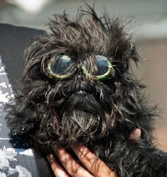 Affenpinscher with sunglasses - had to wear these outside because of a recent eye operation :)