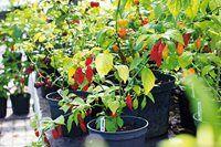 Växthus av gamla fönster Chili, Vegetables, Plants, Outdoor, Tips, Summer, House, Inspiration, Gardens