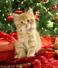 funny christmas cats | Christmas cat picture | Cat pictures
