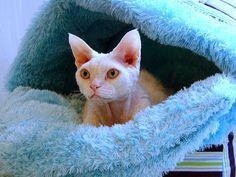 My Cat Casper #DevonRex #Cat #whitecats #white #cutepets #whitepets #bllue
