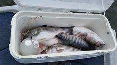Average size striped bass on Lake Ouachita still fight hard!