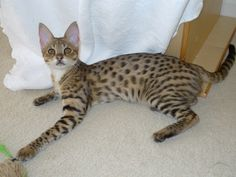 Savannah KittensAvailable  April 19, 2015  Sweetspots produces F2 and F3 generation savannahs. Most kittens arebrown/gold spotted, but we geta fewsilver or snow spotted kittens as well. F2 kittens range $4500-5500 as pets. F3 kittens range $2500-3200 as pets. We are no longer shipping kittens at this time.  Kittens are priced individually according to quality, sex, and generation,… (more...)