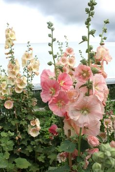 Old fashioned single hollyhocks.