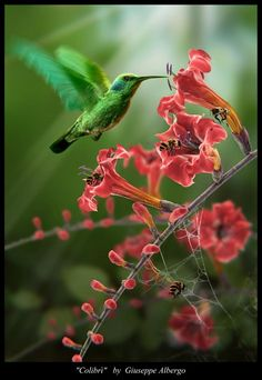 Colibri,,,,I didn't see the bee in the picture the first time I looked at it....