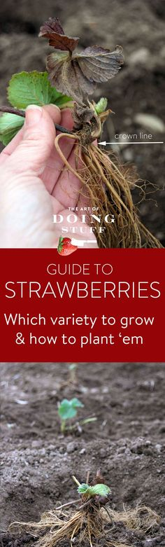 Grow Vegetables There are 3 basic types of strawberries, with a multitude of varieties! This guide will help you choose which type is right for you and how to plant them.