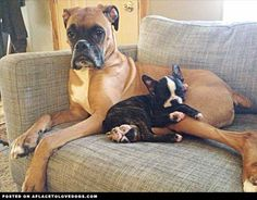 Cute Boston Terrier Has His Very Own Boxer Pillow • dog dogs puppy puppies cute doggy doggies adorable funny fun silly photography