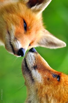 Hugs and kisses, #fox #nature