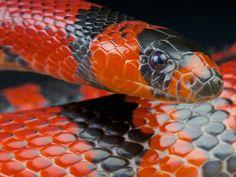 Honduran Milk Snake Care And Breeding - Reptiles Magazine The Little Prince 1974, Snake Hides, Reptile Show, Milk Snake, Snake In The Grass, Coral Snake, Beautiful Snakes, Reptiles