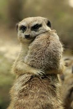Meerkats (Photography) Posters, Prints, Paintings & Wall Art for Sale Cute Funny Animals, Cute Baby Animals, Nature Animals, Animals And Pets, Hamster, Mundo Animal, Cute Animal Pictures, Spirit Animal, Cutest Animals