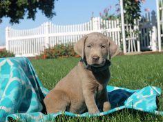 Franky, #Labrador Retriever-Silver Puppy