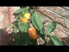 How To Succeed At Growing An Organic Garden Pallet Sofa, Organic Gardening Tips, Ornamental Plants, Pallet Shelves, Landscaping Tips, Wooden Pallets, Gardening For Beginners, Pepper, Diys
