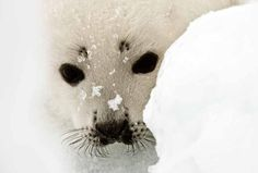 Harp Seal Pups Harp Seal Pup, Baby Harp Seal, I Need A Hobby, Fuzzy Wuzzy, More Cute, Otters, Cubs, Cute Animals, Creatures