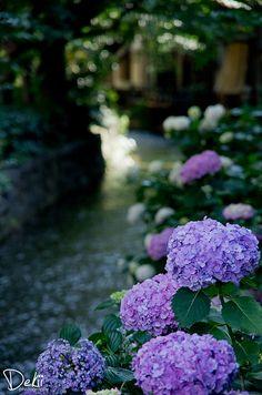 Hydrangea, Takase River, Kyoto, Japan