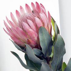 Pink square Pincushion protea. Extreme close-up of pink Pincushion Protea (Leuco , #affiliate, #close, #Extreme, #Protea, #pink, #square #ad