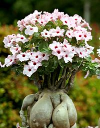 Rosa do Deserto - Jardim de Flores                              …