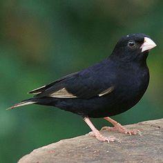 Vidua purpurascens (Purple indigobird, Purple widowfinch)