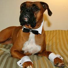 If I had a dog, he'd be permanently dressed in formal wear