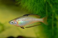 A website dedicated to Rainbowfishes of Australia and New Guinea Behavioural Ecology, Freshwater Aquarium Fish, Rainbow Fish, Beautiful Fish, Exotic Fish, Cichlids, Vertebrates, Zoology, Tropical Fish