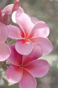 flowersgardenlove: Pink Plumeria | Shar Beautiful