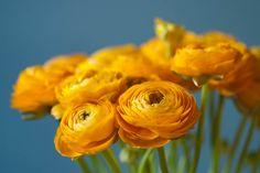 Yellow ranunculus   Flickr - Photo Sharing!