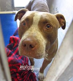 KILLED 9/3/15 --- A4867622 I am a friendly 3 yr old male brown/white pit bull mix. I came to the shelter as a stray on August 17. available 8/22/15 NOTE: Pit bulls are not kept as long as others so those dogs are always urgent!!  Baldwin Park shelter  https://www.facebook.com/photo.php?fbid=1018250111520159&set=a.705235432821630&type=3&theater