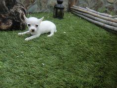 Chihuahuas (chiguaguas) en venta - Criadero Cantillana