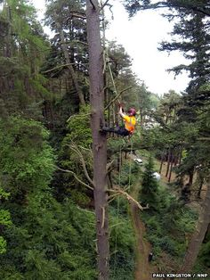 Worker climbing Scots pine (Pinus sylvestris) tree in Cragside, near Rothbury, Northumberland. The Scots pine is 131ft (40m) tall, the largest recorded UK example | Published: 2 June 2014