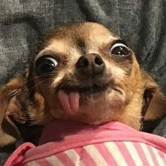 Baby Animals Super Cute, Cute Baby Dogs, Cute Funny Dogs, Cute Little Animals, Cute Funny Animals, Cute Puppies, Funny Dog Faces, Funny Chihuahua Pictures, Funny Dog Pictures