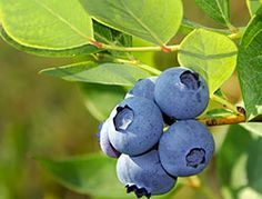 How to Grow Blueberries in a Container - lovely healthy project so beneficial to you, the gardener and can be grown in a pot
