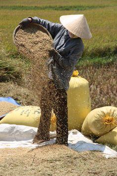 Da'Nang Vietnam, rice fields