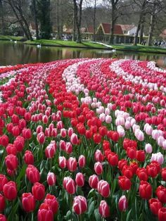 Tulip garden in the Netherlands !