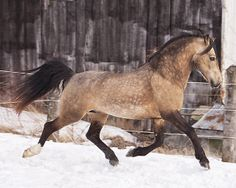 sooty buckskin - Welsh Cob (section D) stallion Mi Midas Touch