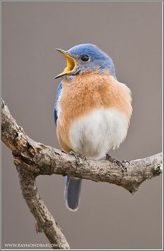 Eastern Bluebird - Focusing on Wildlife Cute Birds, Pretty Birds, Beautiful Birds, Poem Beautiful, Little Birds, Small Birds, Blue Bird Art, Love Birds Painting, Watercolor Bird