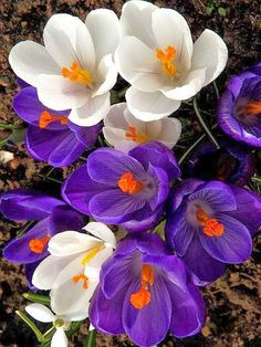 Crocus in Two Colours
