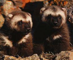 Wolverine cubs