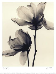 Saucer+Magnolia X-ray flower