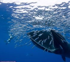 """Bryde's whales (pronounced: ˈbruːdə, brew-də) are baleen whales, the """"great whales"""" or rorquals. They inhabit tropical and subtropical waters worldwide. Bryde's whales are considered medium-sized for balaenopterids, dark gray in color with a white underbelly."""