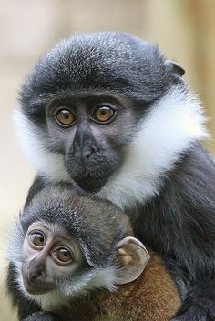 Mother and Baby Le Hoest Monkies by peterdc8, via Flickr