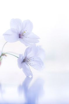 Sakura by naoki nomura on - How To Eat Healthy Pastel Flowers, Flowers Nature, White Flowers, Beautiful Flowers, Flower Wallpaper, Wallpaper Backgrounds, Iphone Wallpaper, Image Deco, Deco Floral