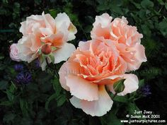 just-joey-rose One of my favorites!  Beautiful and Frangrant