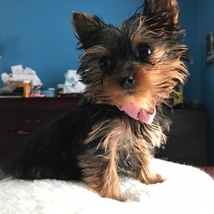 Loving and Caring Yorkie Puppies for sale | terrierpupsforhomes.com Monkeys For Sale, Morkie Puppies For Sale, Birds For Sale, Teacup Yorkie, Puppy Names, Shih Tzu Puppy, Trainers, Dogs, Quotes