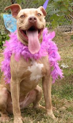 Meet Champagne, a Petfinder adoptable Pit Bull Terrier Dog | Elizabeth City, NC | PLEASE FOSTER ME - OR ADOPT ME! This beautiful dog is currently at our partner shelter in Dresden,...