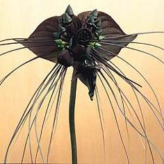 The Tacca chantrierei, Green Isle or Bat Plant is an unusual and rare plant with dusky green blooms and long green tentacles. In Malaya they call it the Devils Flower and strange, fascinating stories surround it. Originating, no doubt, from the malevolent way the eyes in the bloom seem to be following your every move! It grows to about 2 feet in height with flowers complete with filaments or whiskers 12 inches long forming a flowing forked tail.